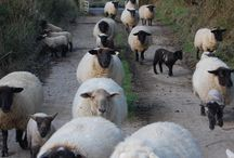 Sheep / In praise of...sheep / by Kate Sanner