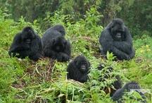 Gorillas / by Volcanoes Safaris