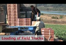 Growing the Naturipe Way / Harvesting videos of our fresh berries / by Naturipe Farms
