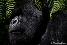Mountain Gorilla Photos / The best of photography of mountain gorillas posted online. Mountain gorillas are critically endangered, and there are only an estimated 780 left in protected areas in the Democratic Republic of Congo, Rwanda, and Uganda. More information at www.igcp.org. / by IGCP