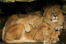 Way too cute for words!!!!! / by PrideRock Wildlife Refuge