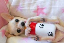Chihuahua / by Diane Laurino