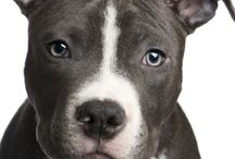 My love for Pitbulls :) / by Kaitlyn Kindy