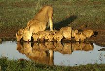 I LOVE LIONS / by Waynescot Lukas