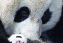 Pandas / by Marsha East