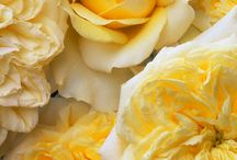Yellow Flowers / by Patricia Stautihar