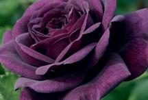 My favorite color purple / by Ronda Cromeens