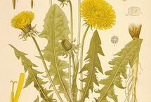 DandelionLOVE / Dandelion Campaign Spark a revolution in your health! Join us! / by Urban Moonshine