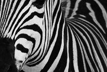 Zebra / by Molly Hastings