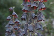 Fabulous Bulbs #flowerbulbs / Flowering bulbs, mainly fall planted, spring flowering bulbs / by Ilona's Garden
