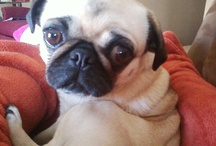 PUGS / Introducing Krystal / by Kimberly Messenger-Keckhaver