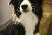 Border Collie love / by Marissa Helling