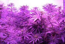LED Grow Lights Good for Marijuana? / by Nebula Haze