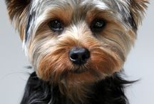 Yorkies / What's there not to love about Yorkies? They're cute, spunky and make for great pets. This Yorkshire Terrier Board shows that they're also beautiful.  / by Dog Names and More