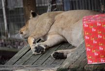 Big Cat Videos / by Crown Ridge Tiger Sanctuary