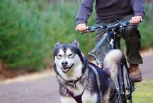 Bikejoring / Bikejoring with your dog is becoming a popular activity and a great way to exercise your pet.  Bikejoring is a dog mushing activity related to skijoring, canicross, and dog scootering. It is a recreation or sport where your dog, or dogs are attached to a towline, pull and run ahead of a cyclist / by Snowpaw Store