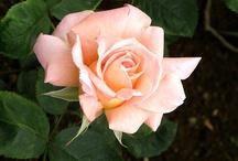 Roses so sweet / by karen colleran