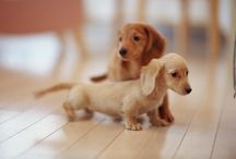 Ball Park Franks / Dachshunds / by Connie Monday