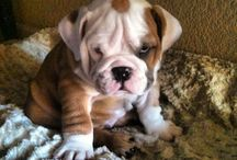 Bulldogs / Anything &everything having to do with bulldogs! / by Monica Shi