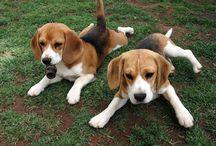 Beagle Love / by Bumbleberry (Meg Vitale)