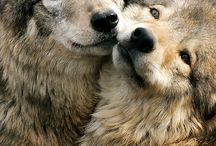 wolves (Fave animal) / by Shannon Dunn