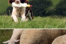 Springer Spaniel Love / by Cindy Murphy