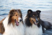 Shelties rule and other dogs to / by Jeffrey Steinke
