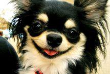 Chihuahua 's / by Sammy Irvine