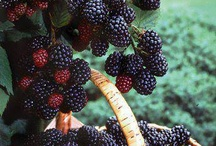 Blackberry time! / by Tammy Handy Womack