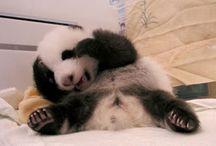 panda bears / by Skye McLain