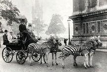 Zebras / by Victoria Phipps