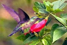 """Hummingbirds / """"Hummingbirds that defend territories of many flowers remember which flowers they have recently emptied."""" / by Gloria Dominick"""