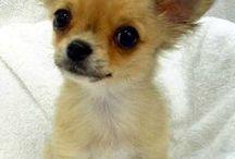 Chihuahuas / by Brenda Brown