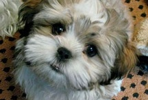 Shih Tzu's and More / by Betsy
