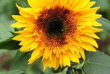 Sunflowers / by Kristin Nicholas