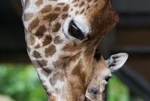 Giraffes To Show Janet / by Anita Austin