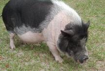 Pigs / Pigs are people too. / by Linda Kloran