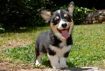 Corgis / This is for you, Mike.   / by Adria Roode