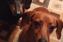 Doxies....and other cute animals! / by Margaret Gaylord