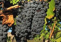 Great Grapes! / by Angelini Wine