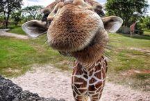 Giraffes / by Jaimee Cox