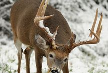 Whitetail Bucks / by DHBB (Adam
