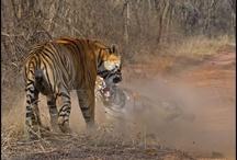 Tigress Battles Tiger in Ranthambore / by Ranthambore National Park