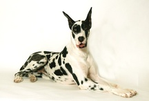 My Friend, The Great Dane..... :) / by Amber Farris