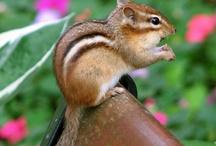 Chipmunks / by Tamsie Hughes