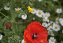 Poppies  / by Karri Alba