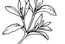 Drawing: Herbs / Drawing Sketching Art Herbs Gardening / by Elisa Armstrong {Elisa Loves Blog}