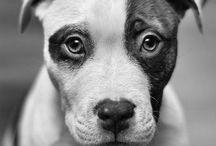 Pit Bull Love / by Bonafide Holistic Dog Food