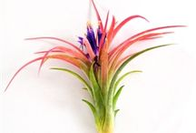 Air Plants - Tillandsia / Air Plants and air plant collections available at http://www.airplantshop.com / by Air Plant Shop.Com