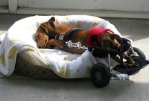 Dachshunds on Wheels / by DREAM Dachshund Rescue
